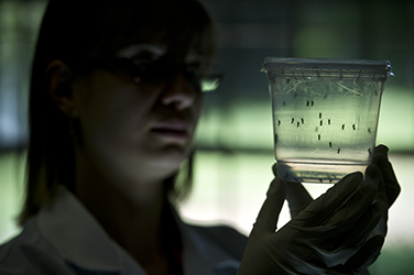 Aedes aegypti mosquitos are seen in containers at a lab of the Institute of Biomedical Sciences of the Sao Paulo University, on January 8, 2016 in Sao Paulo, Brazil. Researchers at the Pasteur Institute in Dakar, Senegal are in Brazil to train local resea